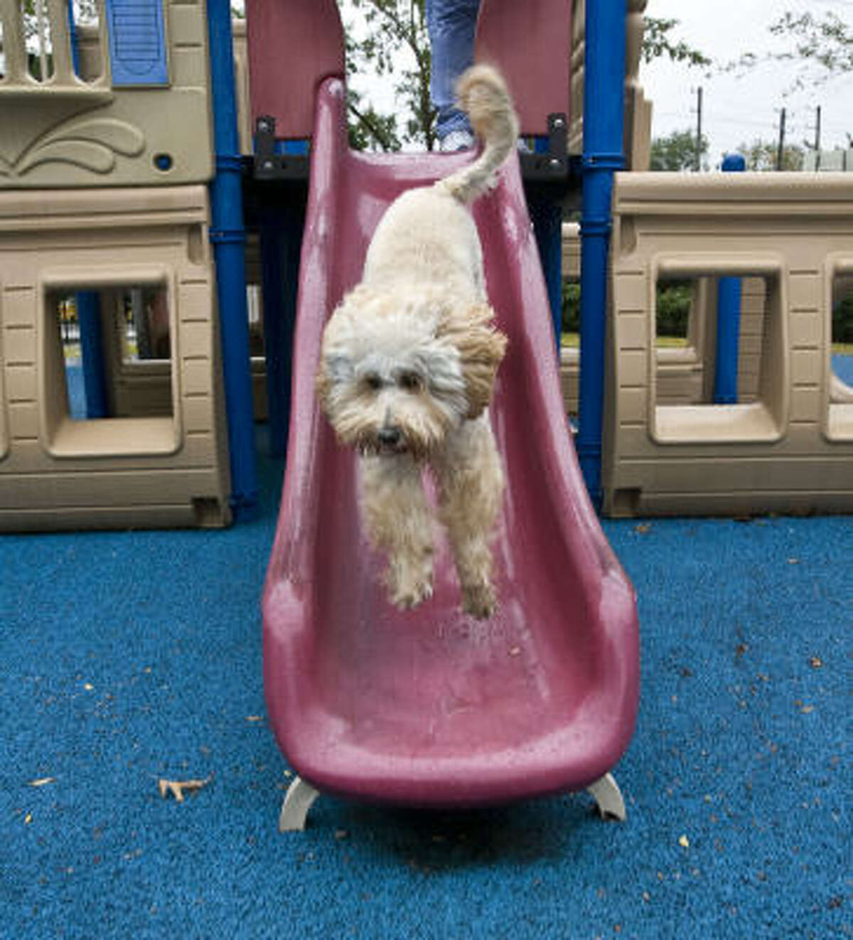 """The Ronald McDonald House dog """"Mogie"""" a labradoodle make his way down a slide on the playground at the Ronald McDonald House"""