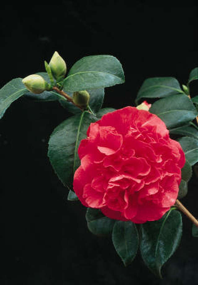 'Kramer's Supreme' Camellia japonica More on camellias: Camellias brighten winter | When to prune them? :: HoustonGrows.com Photo: Hines Nursery