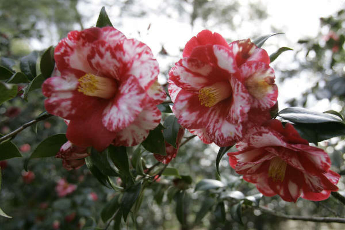 The 'Ville de Nantes' camellia is seen in bloom at Magnolia Plantation in 2008, in Charleston, S.C. More on camellias: Camellias brighten winter | When to prune them? :: HoustonGrows.com