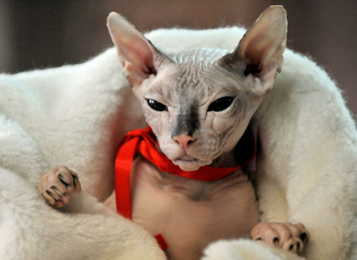 A Canadian Sphynx stands out in a red band on during a cat exhibition Saturday in Bishkek. Cat lovers from Kyrgyzstan, Kazakhstan and Uzbekistan took part in the exhibition.