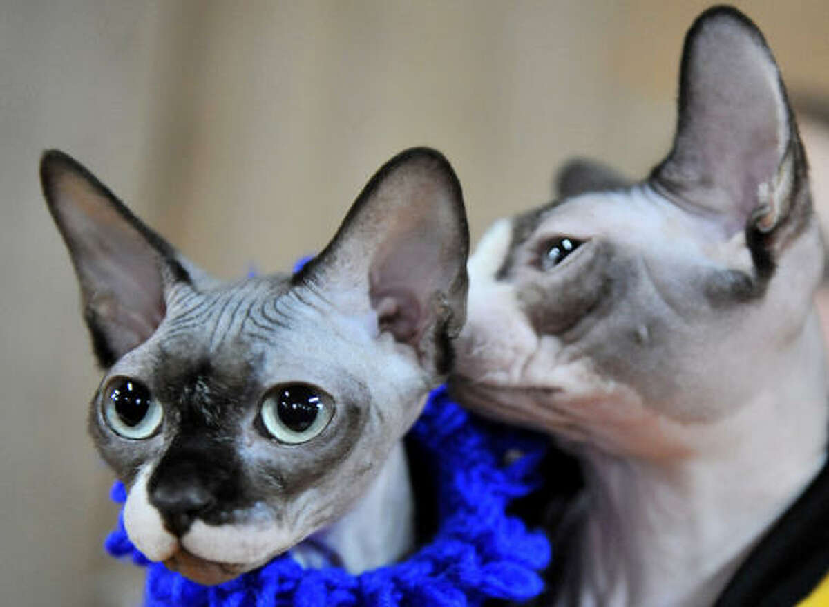 Sphynx cats pose at a cat exhibition in Bishkek.