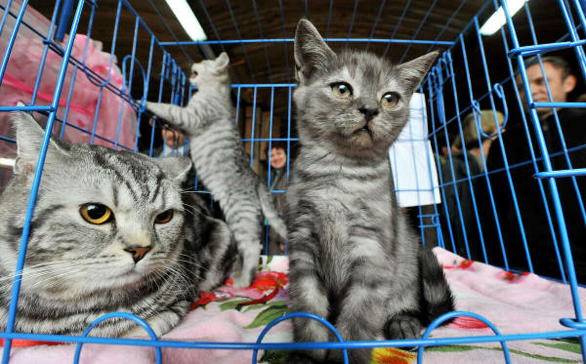 Kittens show off their cuteness at a cat exhibition in Bishkek.