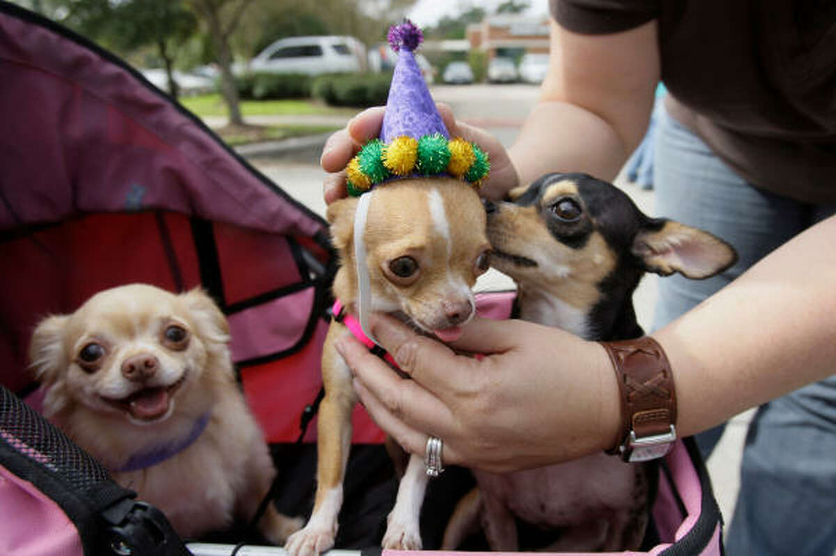 Holly Gill of Cleveland tries out a hat on her friend's dog, Bella, center, an applehead chihuahua, as Bella sits in a pet stroller with buddies Pixie, left, a long hair chihuahua, and Tinkerbelle, a black deer chihuahua.