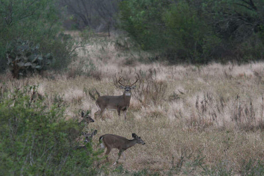 Experienced Texas deer hunters know their odds of seeing a whitetail buck can be much improved if they get out during the peak of the annual deer breeding season. Photo: Shannon Tompkins, Chronicle