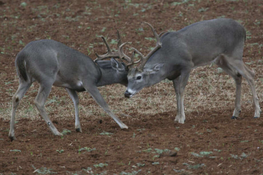 This constant trailing of does, often involving brief chases and harassment of the female and even battles between bucks vying for a doe, means bucks are moving more than they normally do. And the more a deer moves, the more likely it will be seen by a hunter.  Photo: Shannon Tompkins, Chronicle