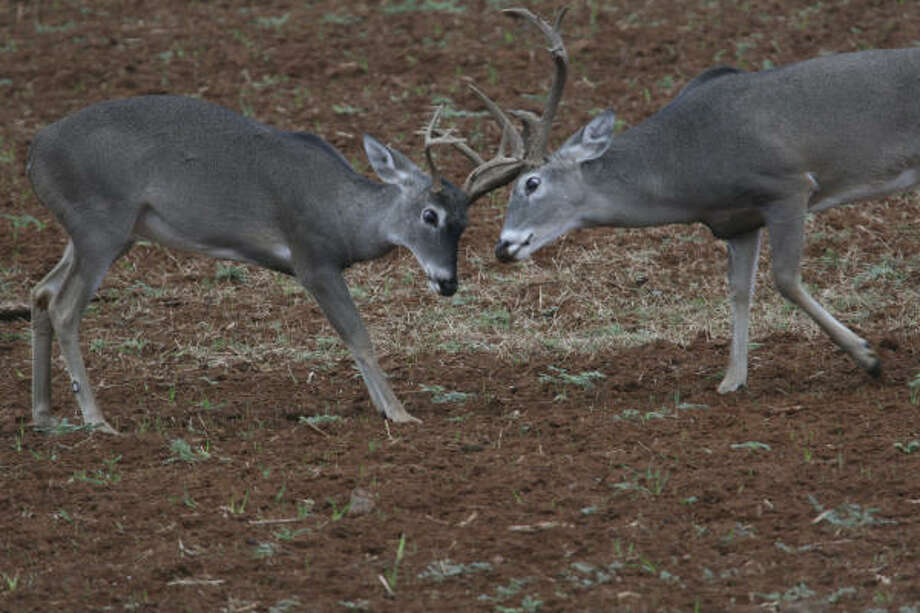Texas holds an estimated 3.5-4 million whitetails, about twice as many as any other state. More on deer season here. Photo: Shannon Tompkins, Chronicle