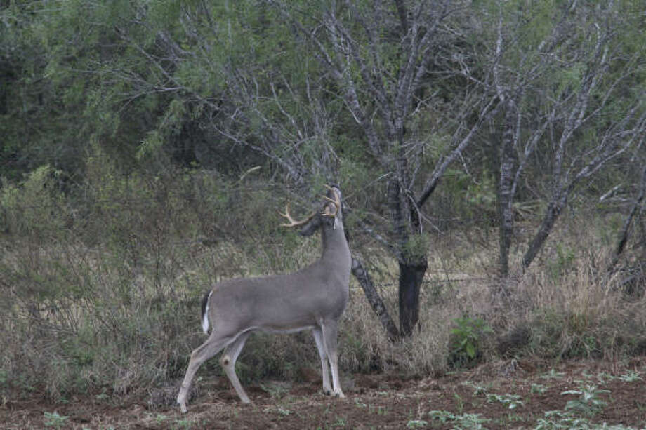 White-tailed deer draw afield more of Texas' 1.3 million hunters than any other game animal. More on deer season here. Photo: Shannon Tompkins, Chronicle