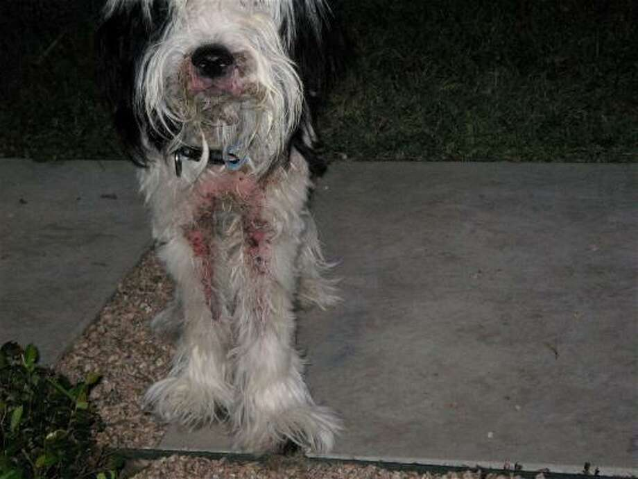 Mangy Dunstan was in a foster home that didn't know how to care for him when Kathy Wetmore of Houston was asked to take him on. Dunstan was crying in pain when Wetmore took him to the veterinarian, she remembers. Photo: Shaggy Dog Rescue