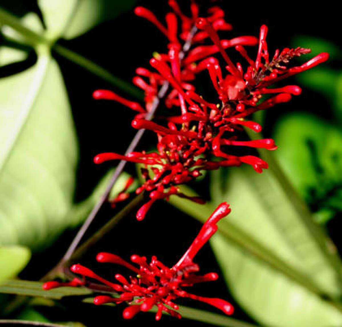 FirespikeButterhummer's patriotic garden | Submit your garden photos | Houston Plant Database | HoustonGrows.com