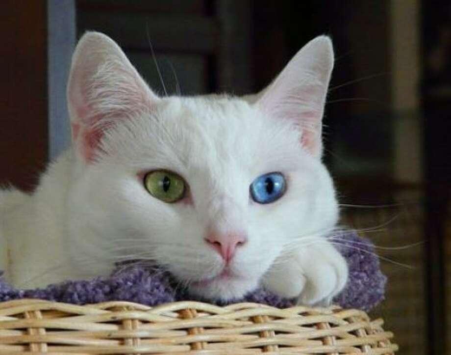 Serenity says: Look into my eyes. Aren't they beautiful? Photo: Oddeyed, PetsHouston.com
