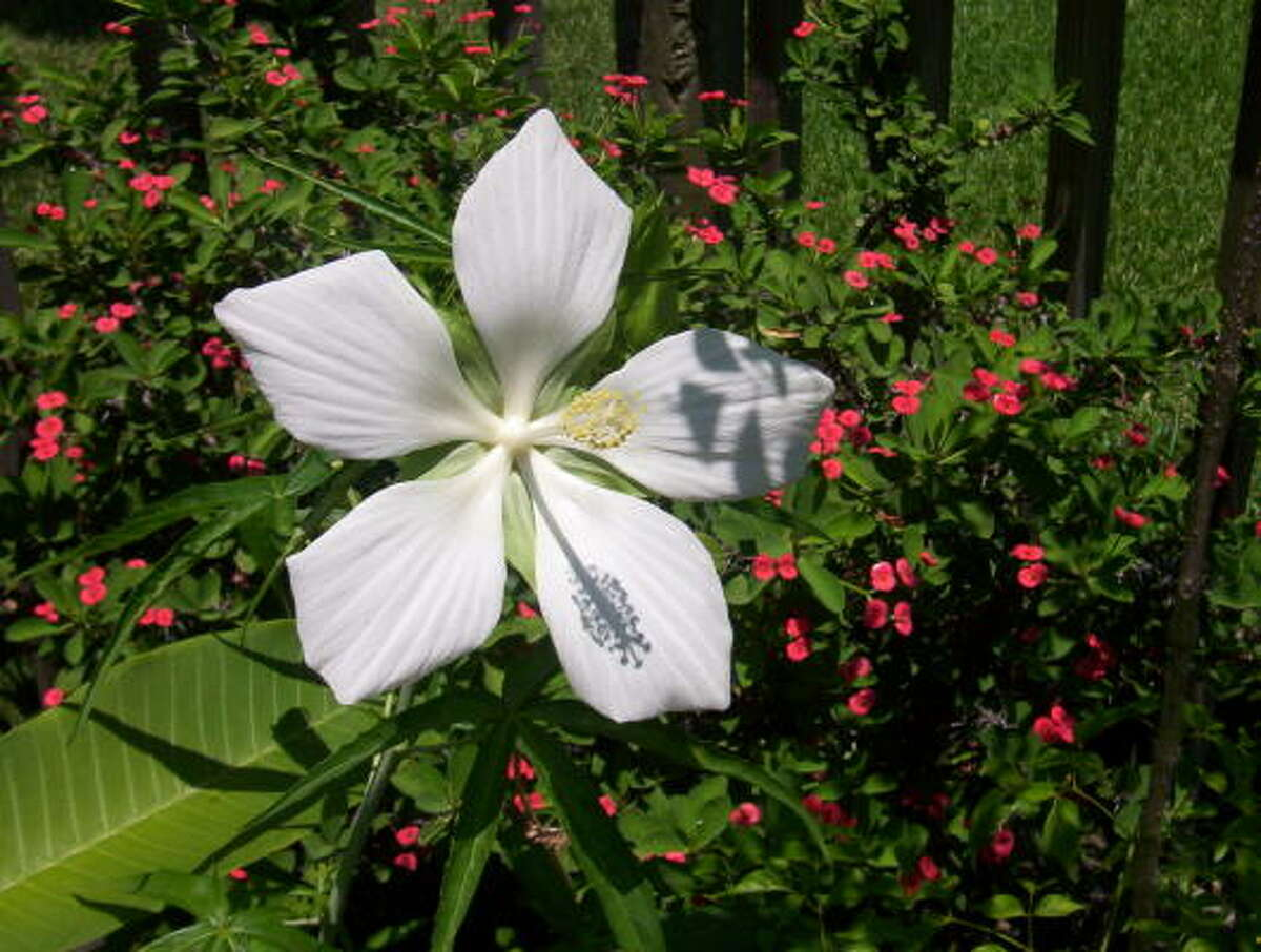 Texas hibiscus with crown of thornsFall butterfly explosion | Submit your garden photos | Houston Plant Database | HoustonGrows.com