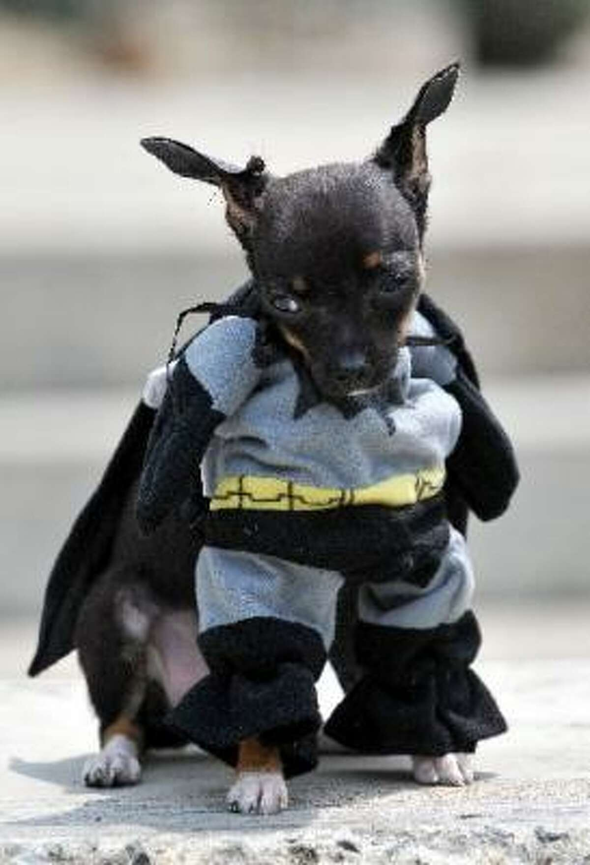 The shrinking Batman at a pet festival in Colombia.