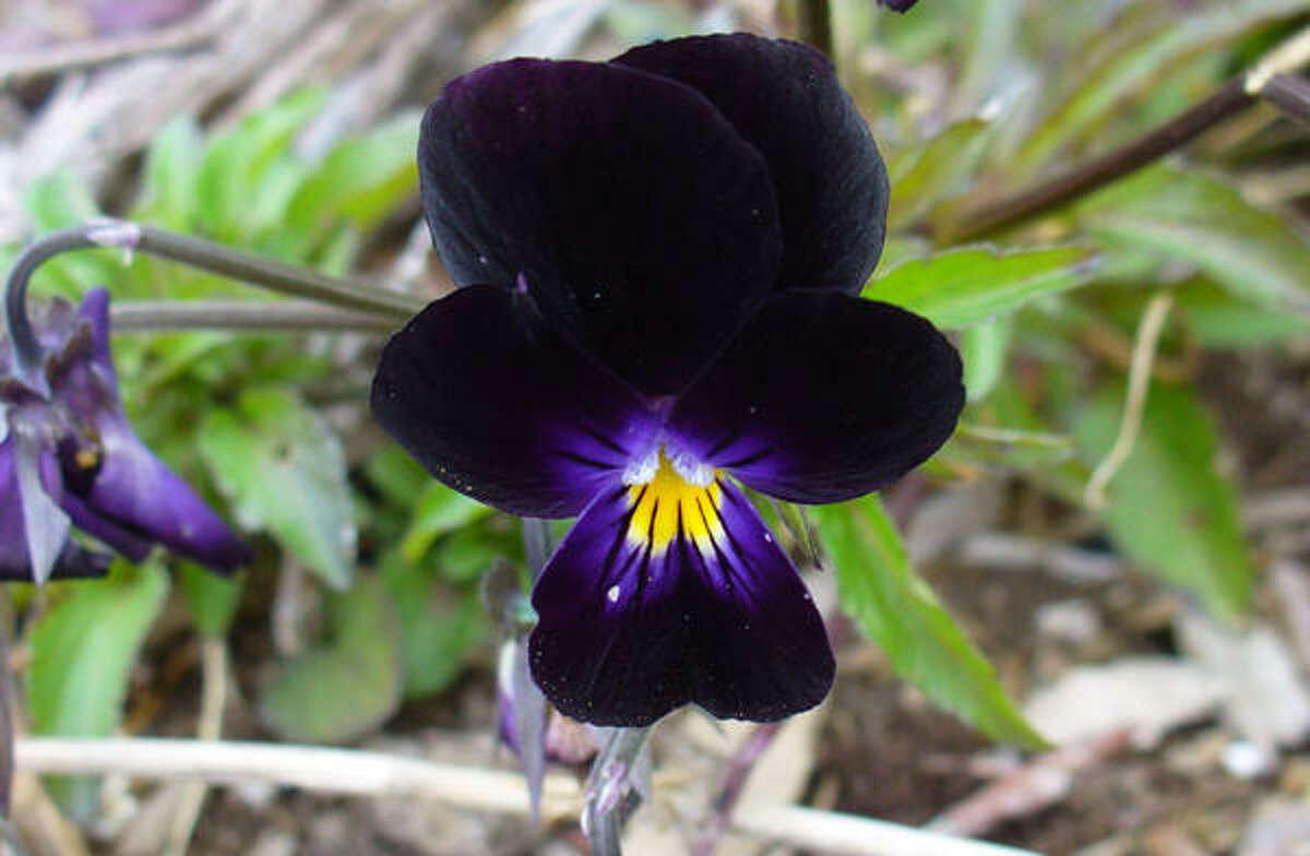 Black violaPlants from the dark side | Submit your garden photos | Houston Plant Database | HoustonGrows.com