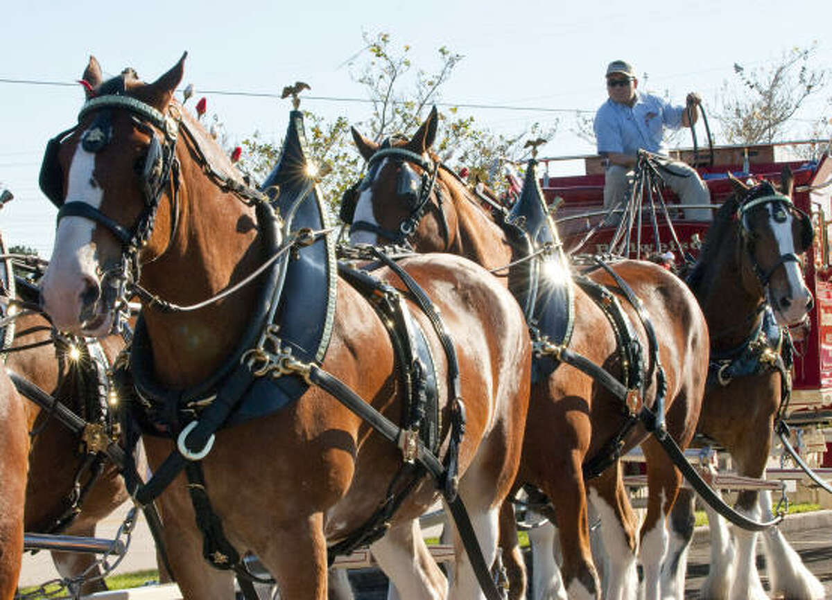 Andrew Stalheim gets ready to lead the ed Budweiser wagon.