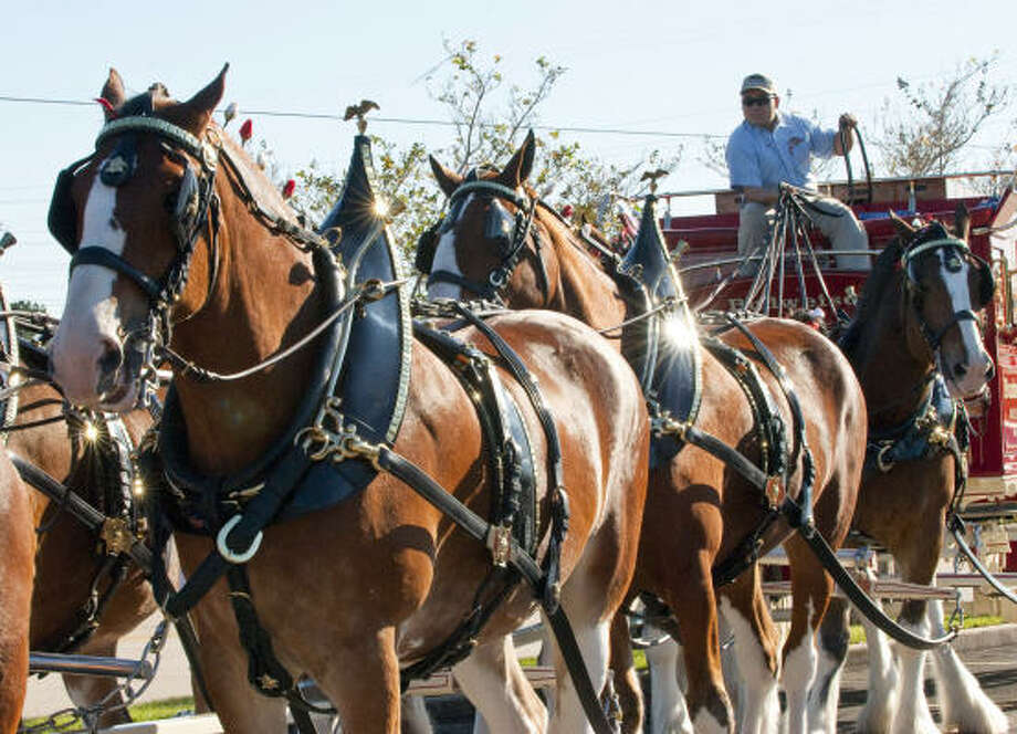 Andrew Stalheim gets ready to lead the ed Budweiser wagon. Photo: Kim Christensen, For The Chronicle