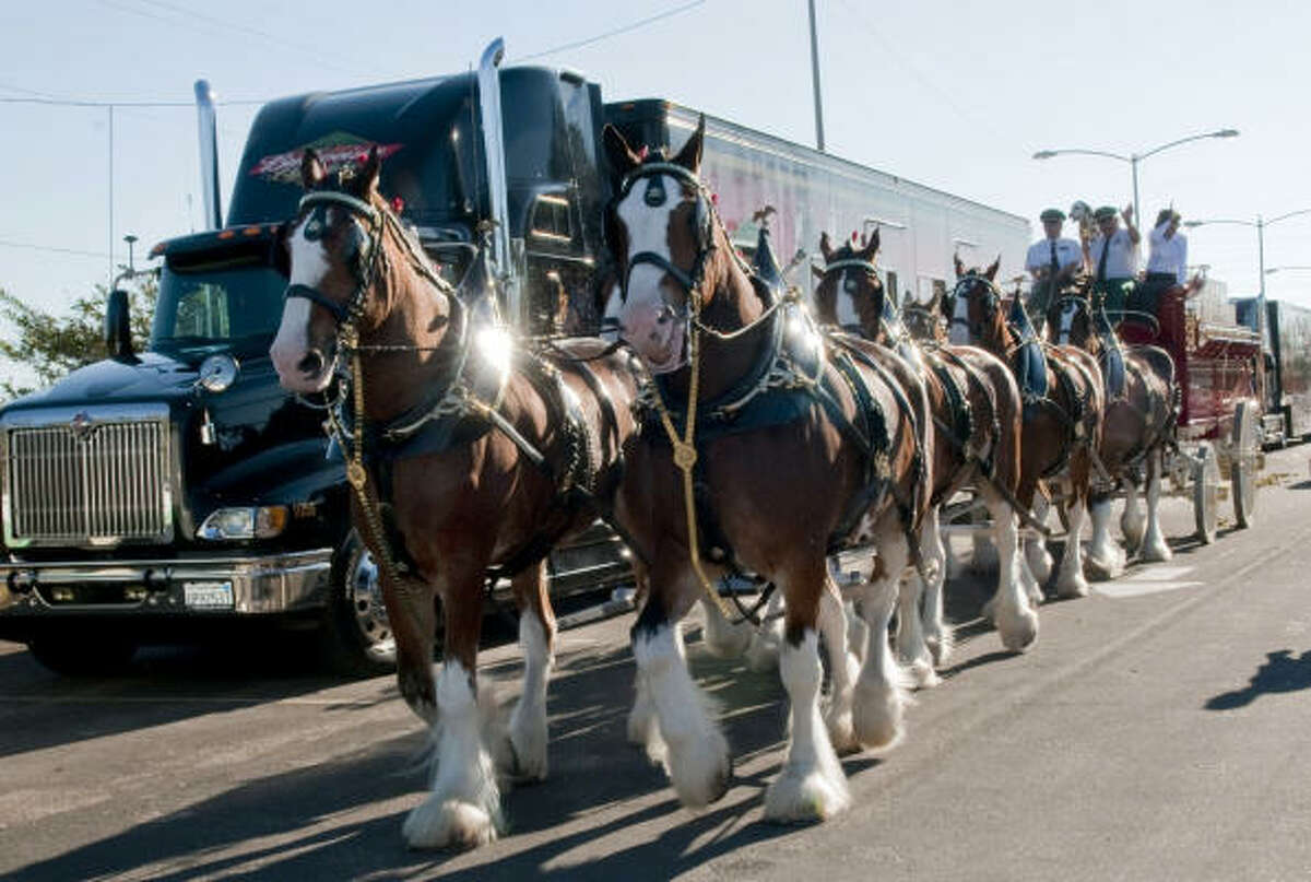 The Budweiser Clydesdales pull their wagon to the front of League City's City Hall.