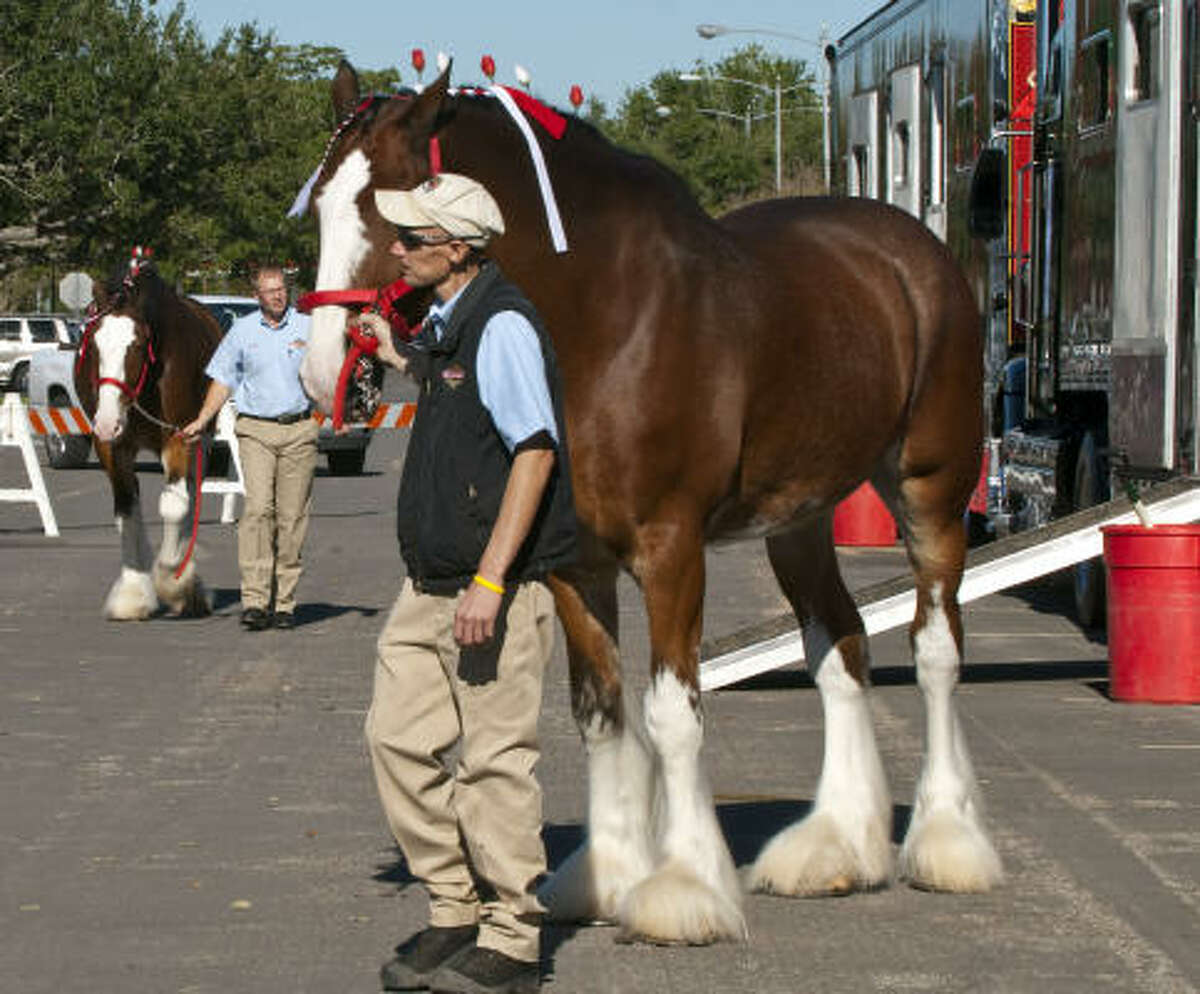 Dyson Miller leads a Clydesdale to be hitched up to the wagon.