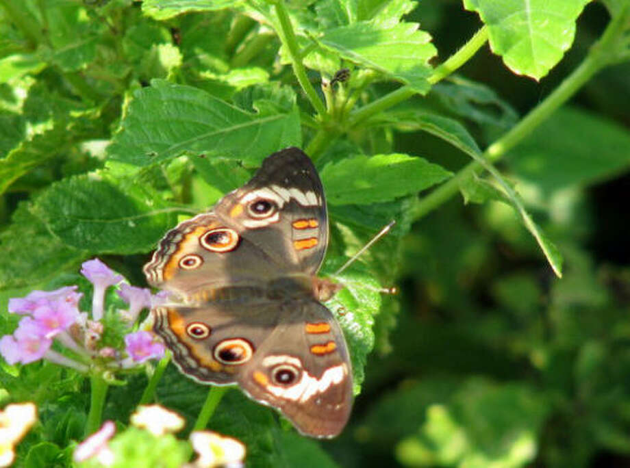 Common buckeye Lazy Gardener: Attracting butterflies |  Gallery: 10 Don't's of attracting butterflies | Video: How to attract butterflies | Submit your garden photos | Houston Plant Database | HoustonGrows.com Photo: Cheybean, Chron.commons
