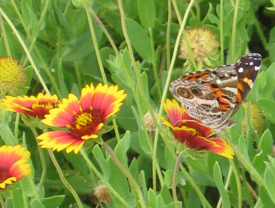"• Don't squish caterpillars thinking they are pests. Chances are they're baby butterflies. Nancy highly recommends John and Gloria Tveten's ""Butterflies of Houston and Southeast Texas."" The authors include great photos of most caterpillars you are likely to encounter. (Butterflies in Indian blankets, gaillardia.) Lazy Gardener: Attracting butterflies 