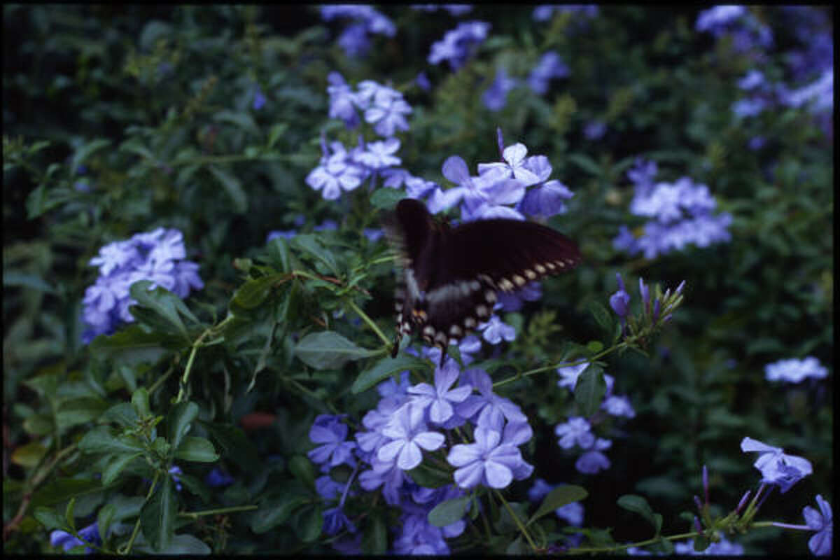 • Don't focus entirely on nectar plants. Some plants (most garden flowers) only provide nectar. Host plants provide nesting sites. You need both. Some do provide both: Mexican milkweed, or one Brazilian pipevine. Great host plants, like fennel and ornamental grasses, often aren't as attractive so get overlooked. (Plumbago with swallowtail.) Lazy Gardener: Attracting butterflies | Gallery: Fall butterfly explosion | Video: How to attract butterflies | Submit your garden photos | Houston Plant Database | HoustonGrows.com