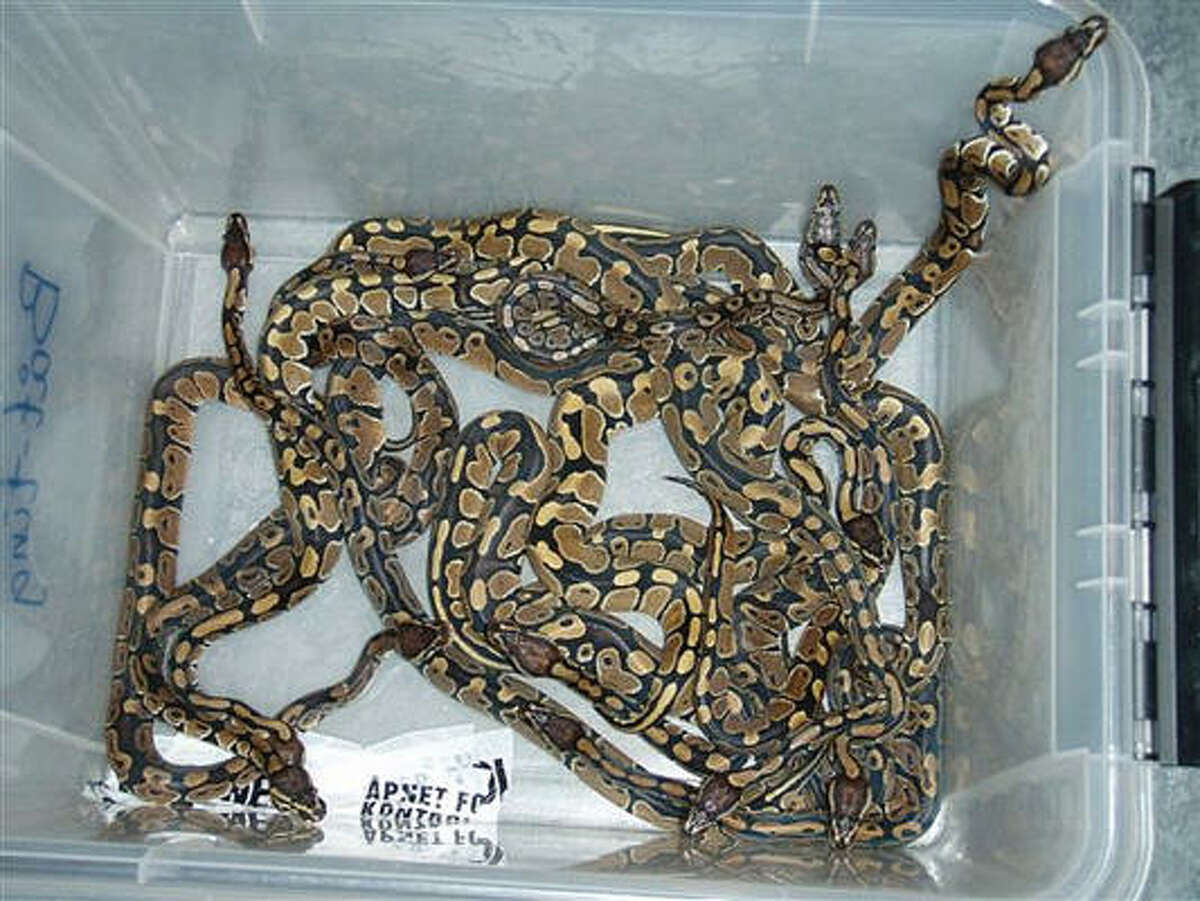 Imagine these pythons taped to your body. Norwegian Customs officials said these snakes were found on the man they arrested.