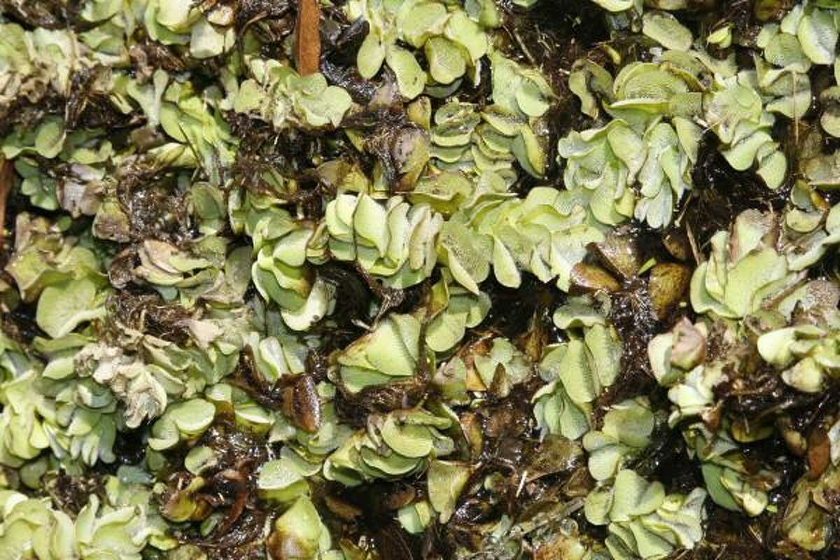 Giant salvinia is one of the most damaging invasive plants in Texas. The South American native that can double in size in 4-10 days quickly covers and suffocates waterways, destroying habitat used by fish and waterfowl.