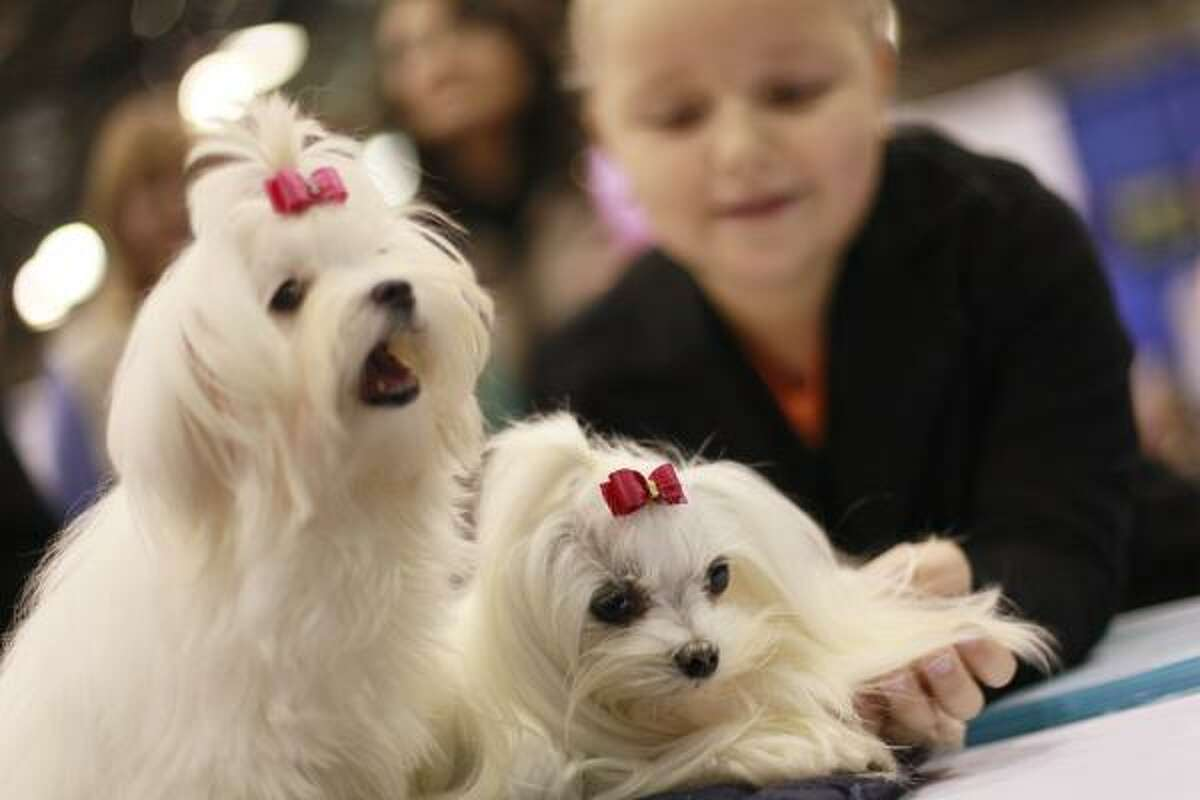 Eight-year-old Elizabeth Dotsenko of Brooklyn N.Y., pets Malteses Sprite, right, 6 months, and Joy, 6 years old, during the Meet the Breeds event at the Jacob Javits convention Center Oct. 17 in New York. The event is billed as the world's largest showcase of cats and dogs.
