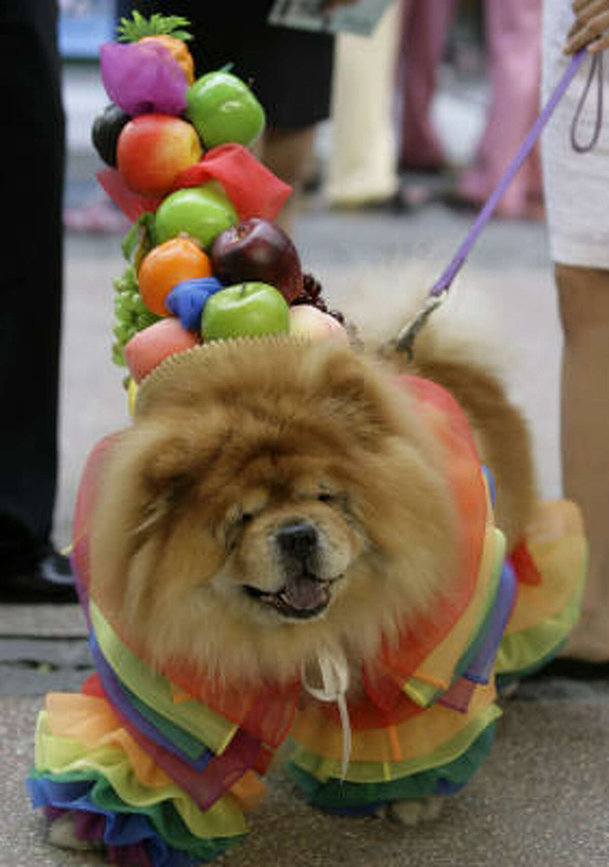 Chuckie, an 8-year-old chow chow, wears a samba-inspired costume at a Manila costume contest. He was the winner of the show in the Philippines last year.