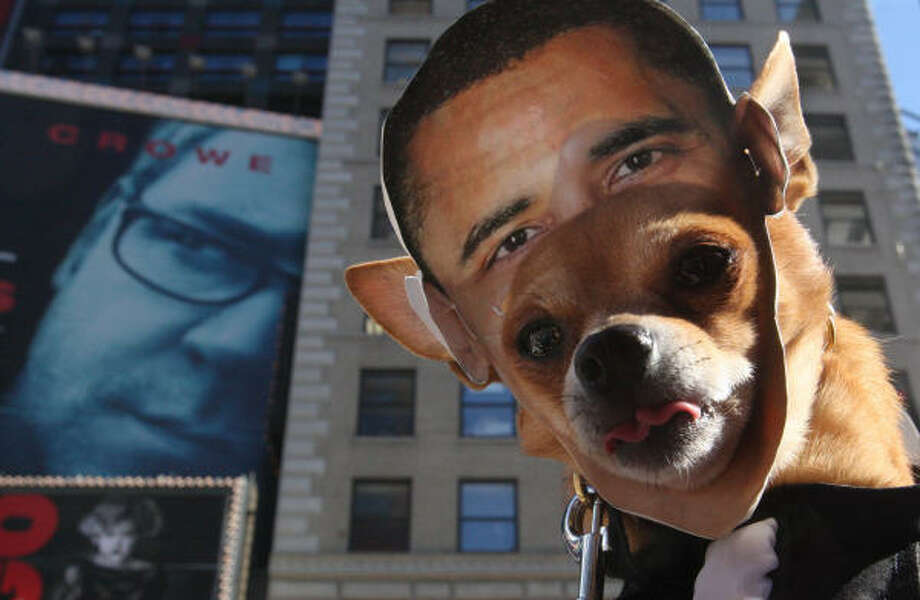 Recognize Obama? Bonbon the chihuahua was a contestant in a costume contest held in New York's Time Square last weekend. Photo: Tina Fineberg, AP