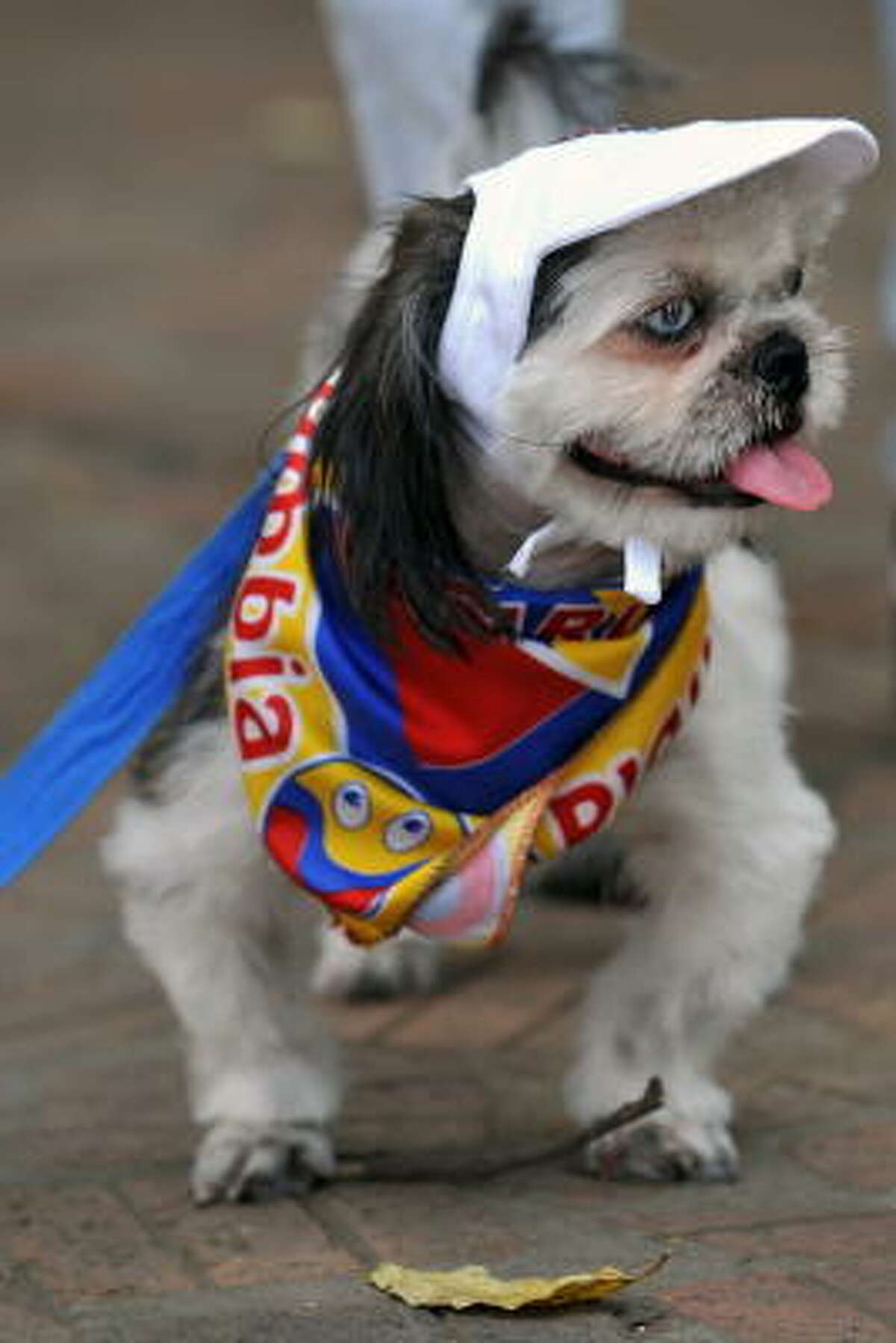 A dog wearing a cap and a scarf with Colombia's national flag colors Sunday in Cali, department of Valle del Cauca, Colombia, during the World Animal Day, which was established in 1931 as a way to highlight the plight of endangered species. October 4th was chosen as World Animal Day as it is the feast day of St. Francis of Assisi, the patron saint of animals.