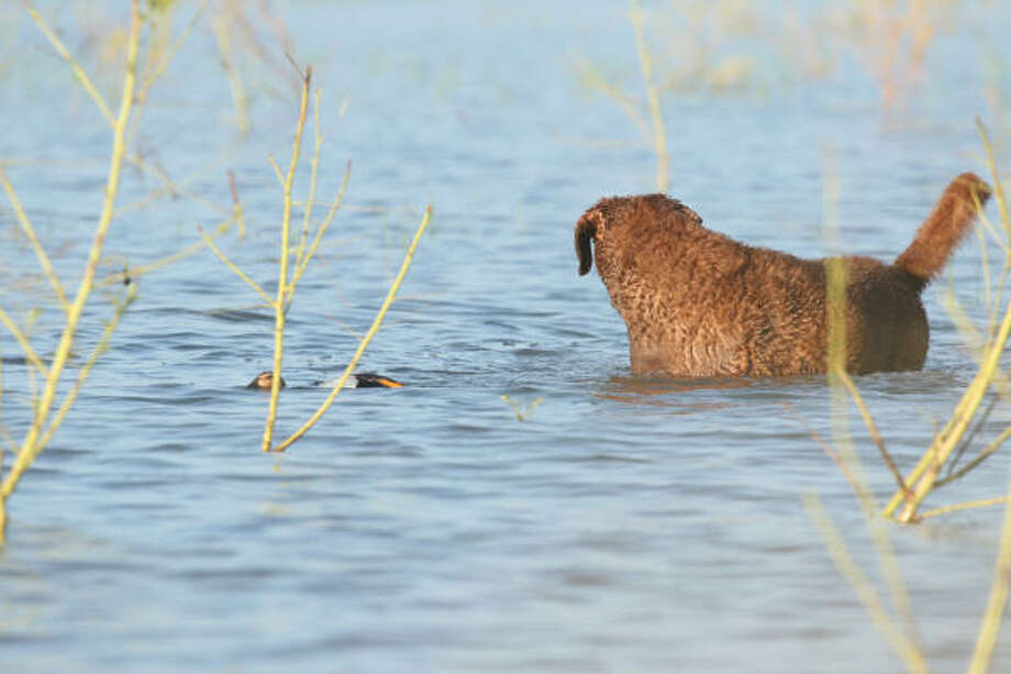 Nellie looks for a wing-tipped blue-winged teal that is trying to slip away unnoticed. Photo: Shannon Tompkins, Chronicle