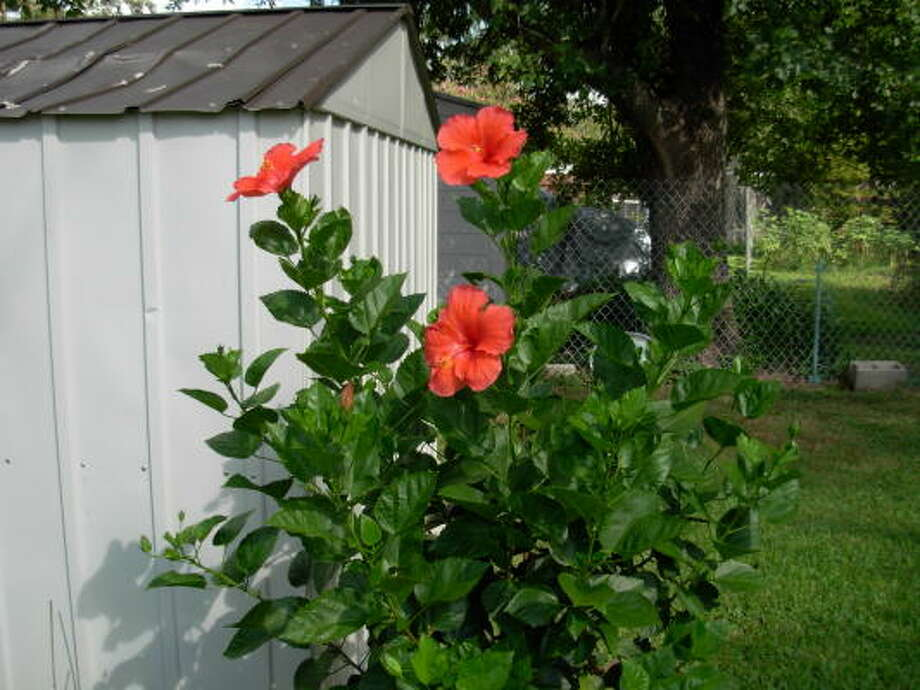 WATCH THE BACKGROUND: This beautiful hibiscus is unfortunately photographed in front of a shed, albeit freshly painted, and a chain-link fence. These items detract from the beauty of the subject. Other things to avoid: unhealthy-looking plants, ugly walls, telephone poles, people, your hand, your shadow. Photo: Chron.commons