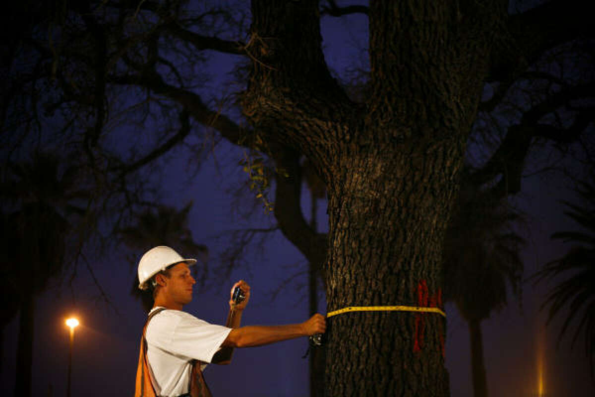 A worker from BDR (Beck Disaster Recovery) takes a measurement of the first historic oak tree to be cut down on the Broadway St. esplanade in Galveston. All but a few of the hundreds of historic oaks planted after the 1900 storm were killed by the salt water from Ike's storm surge and must be removed. A crew started working on the project at 6:00am and an estimated 100 trees will be removed by 7:00pm tonight. The crew will work throughout the week until the project is completed.