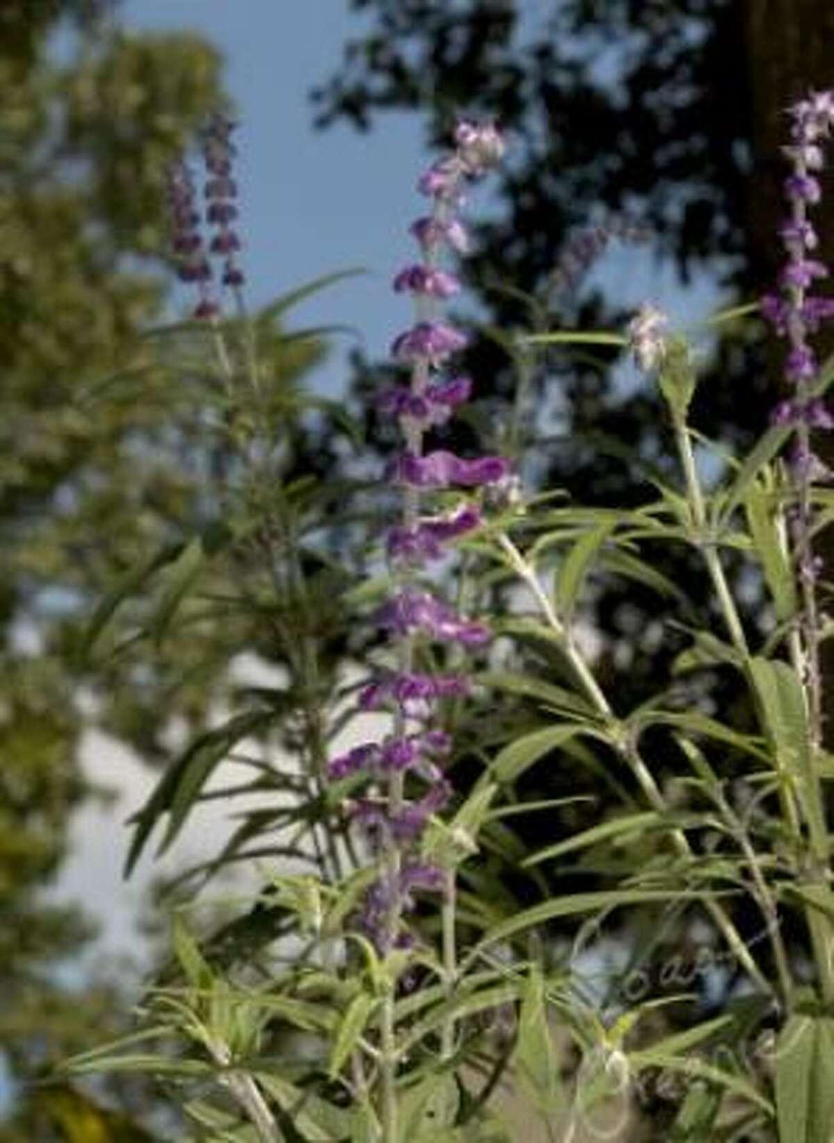 Mexican bush sage (Salvia leucantha) Gulf Coast Greenie| Submit your garden photos | Houston Plant Database | HoustonGrows.com