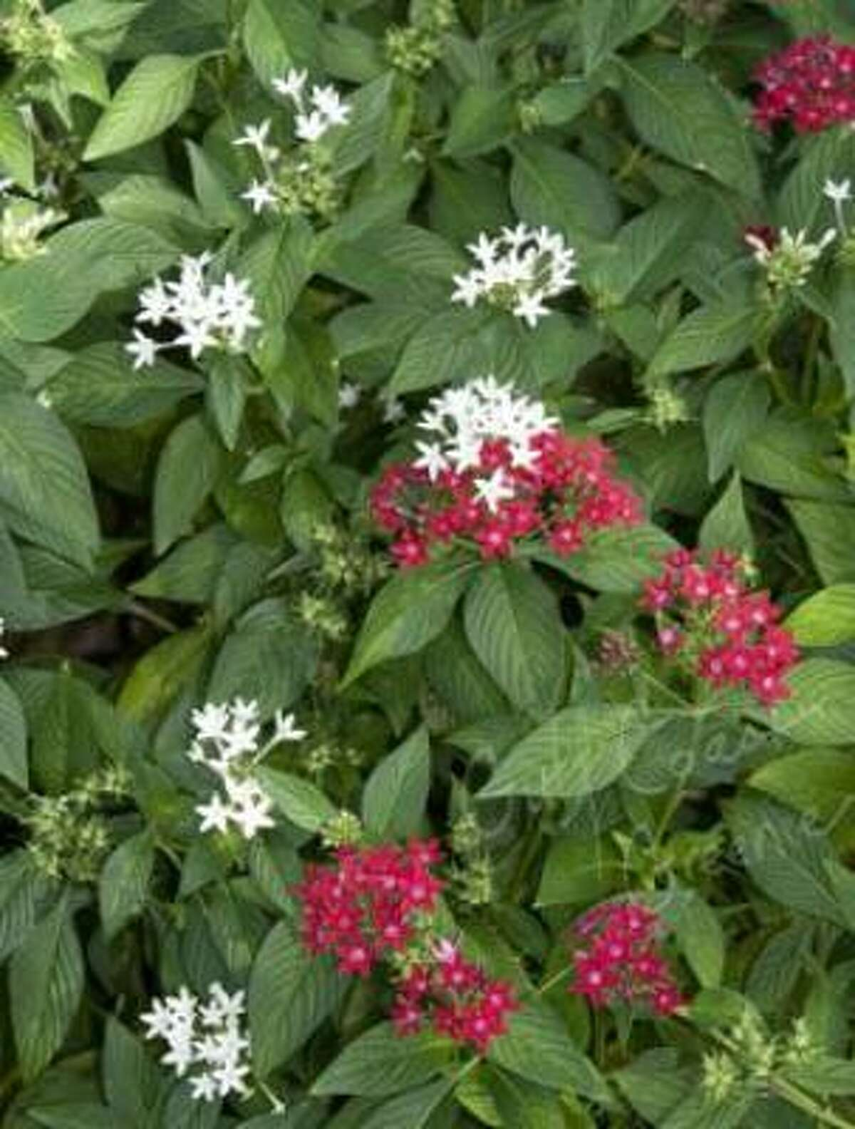 Pentas lanceolata Gulf Coast Greenie| Submit your garden photos | Houston Plant Database | HoustonGrows.com