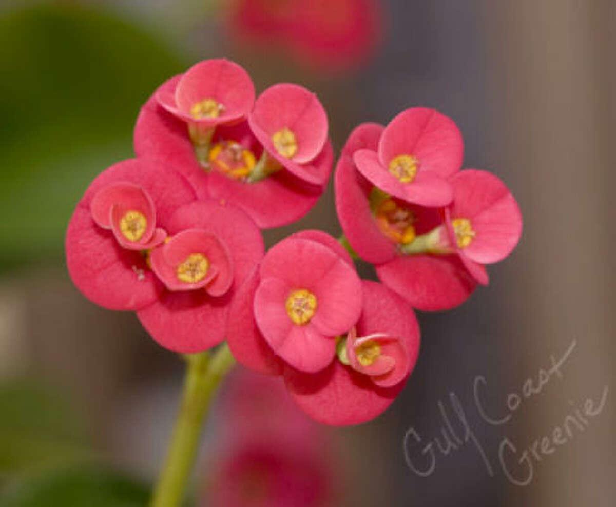 Crown of thorns (Euphorbia milii) Gulf Coast Greenie| Submit your garden photos | Houston Plant Database | HoustonGrows.com