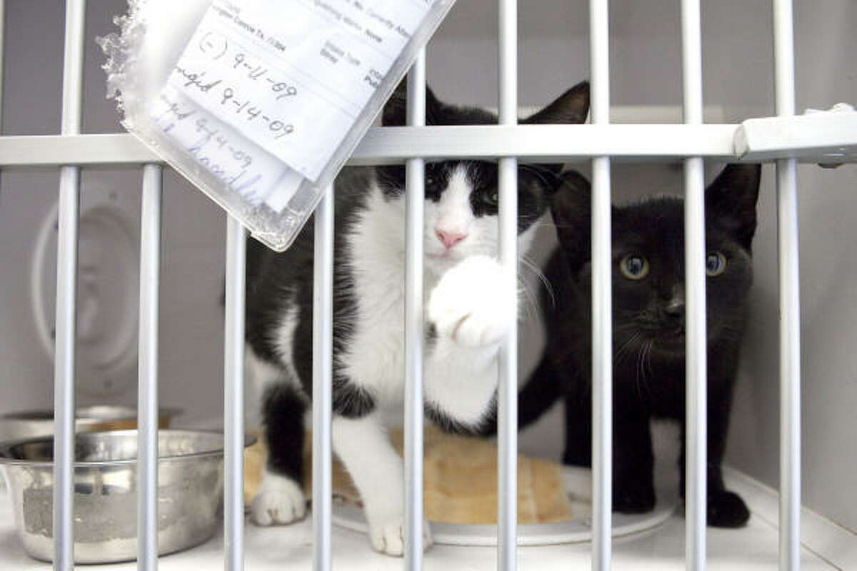The few kittens remaining for adoption await visitors in Conroe Sept. 18. From noon to 4 p.m. on Sept. 19, potential owners can see pets that need to be adopted at the facility at 407 Sgt. Ed Holcomb Blvd.