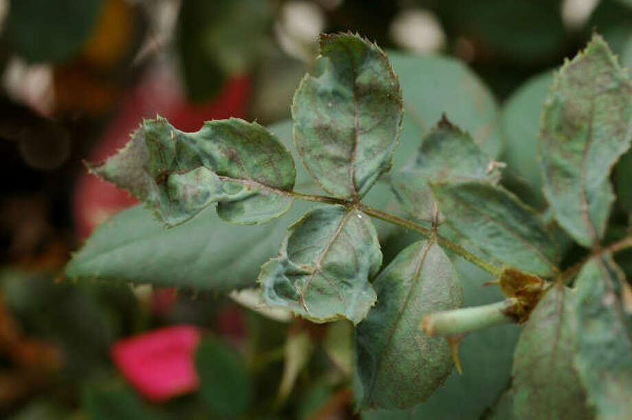 Chilli thrip damage on roses. They have been found in eight Texas counties, including Harris. Photo: Courtesy Texas AgriLife Extension