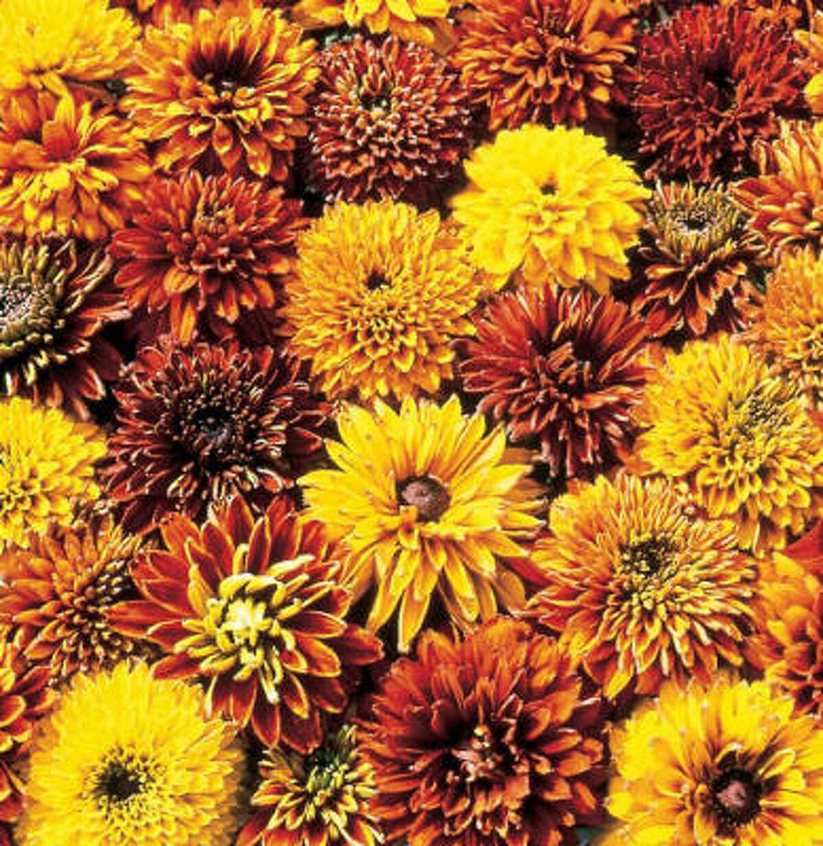 'Cherokee Sunset' rudbeckiaMore garden galleries: September reader photos | Creepy crawlies :: HoustonGrows.com