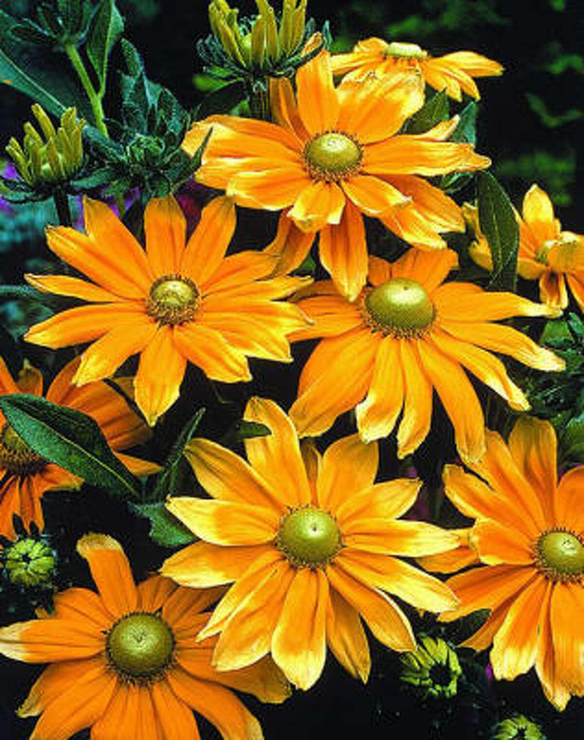 'Prairie Sun' rudbeckiaMore garden galleries: September reader photos | Creepy crawlies :: HoustonGrows.com