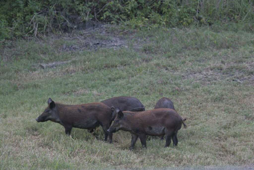 Feral Hogs Appearing In Kingwood Other Suburban Houston - Wild pigs map us 1930 2016