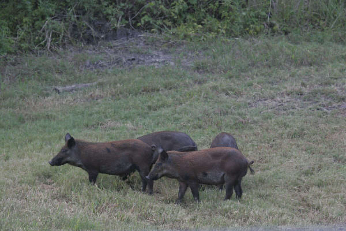 Picture of: Sheriff Feral Hogs To Blame For Woman S Rare Killing In Anahuac