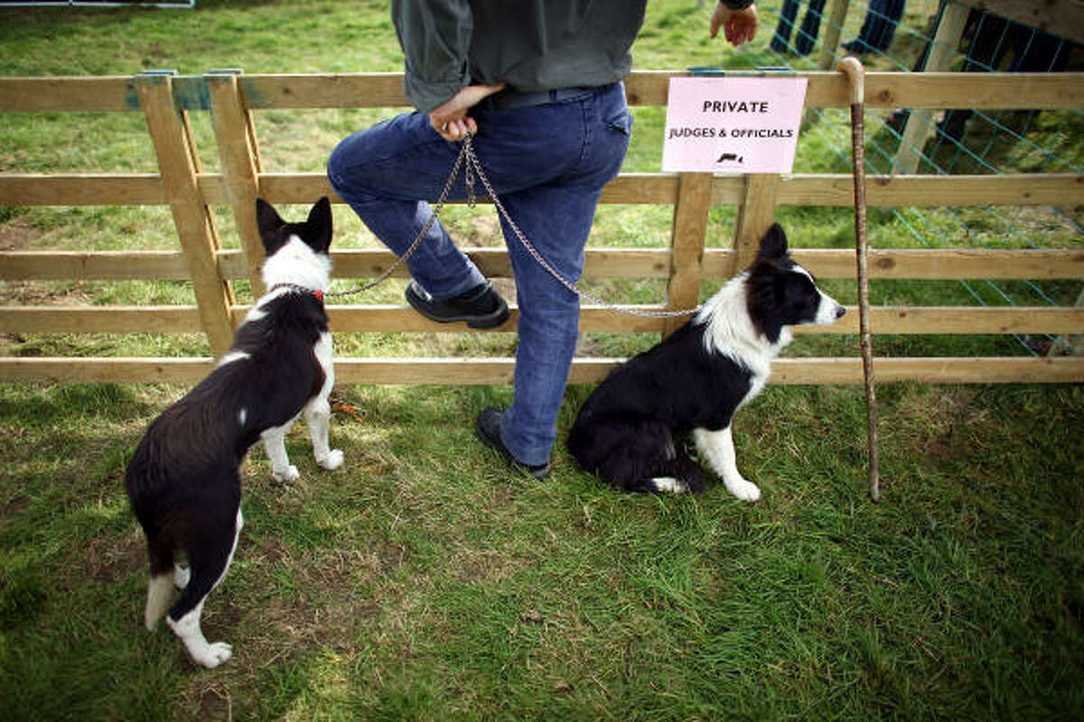 A shepherd and his dog wait their turn at the International Sheep Dog Trials on Friday in Penrith, England.