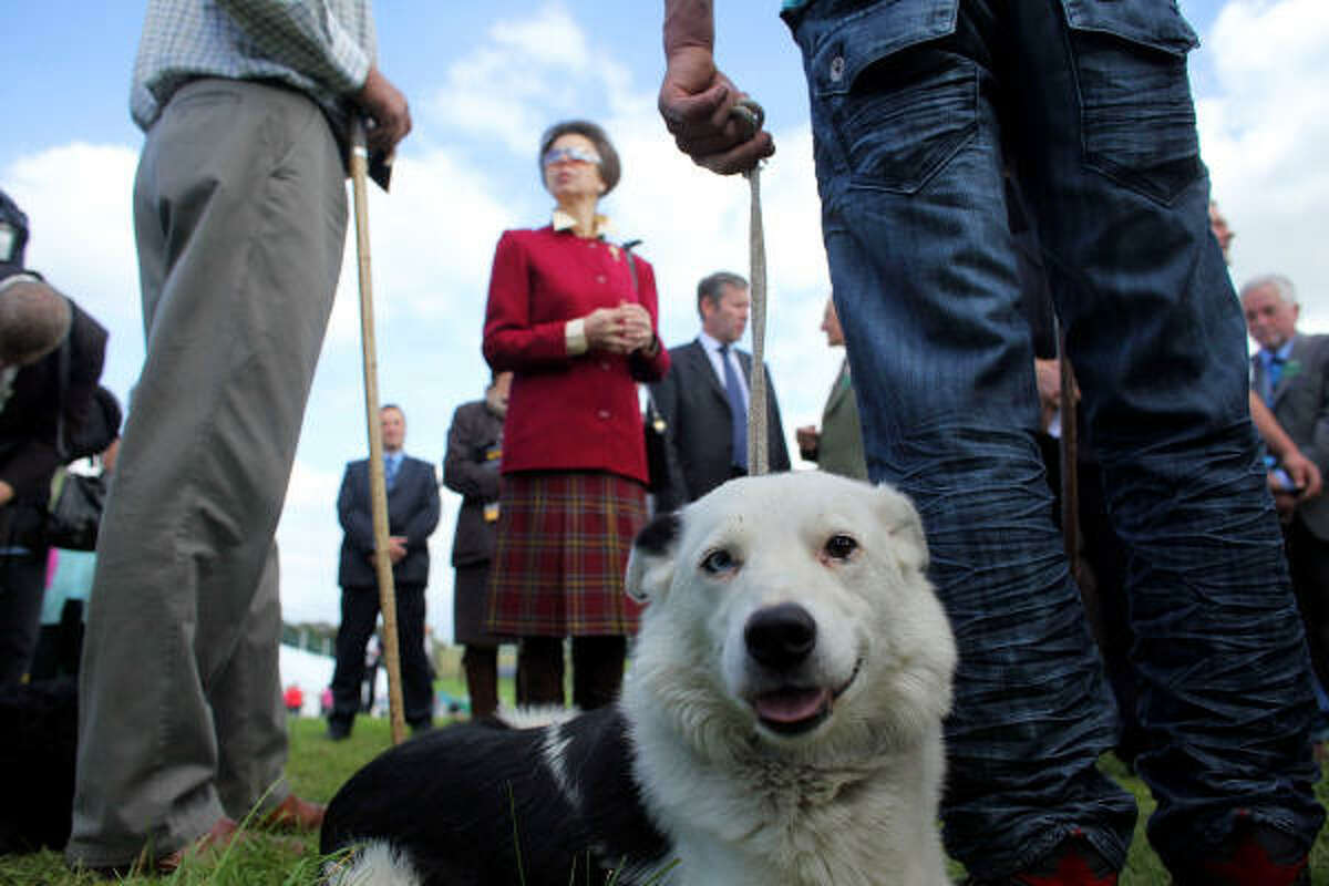 Top handlers from England, Ireland, Scotland and Wales competed in front of crowds, that included Princess Anne, for the 15 places in Sunday's Supreme Championship at Lowther Estate, Cumbria.