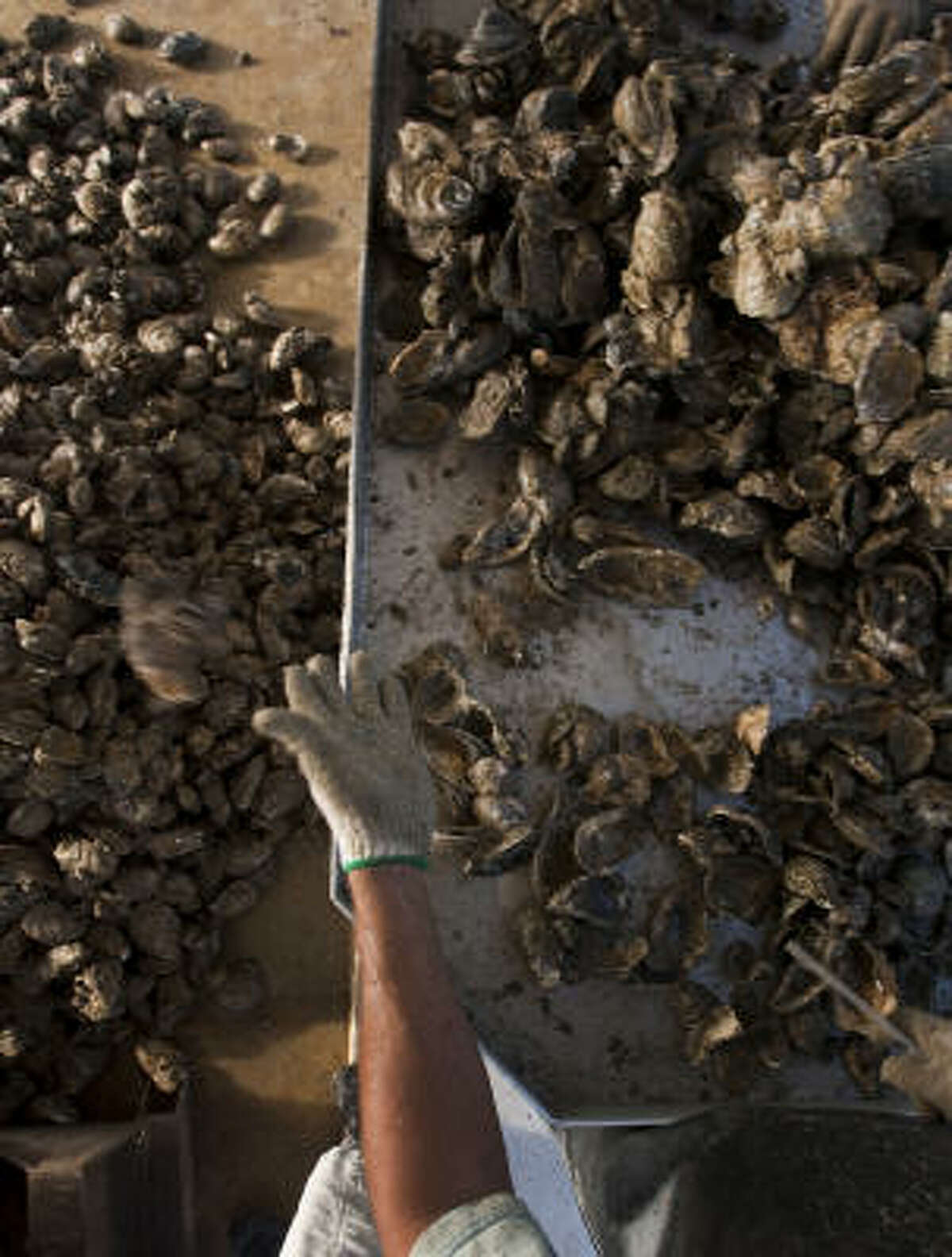 Alejandro Muniz culls oysters aboard Jeri's Seafood oyster boat in Galveston's East Bay.