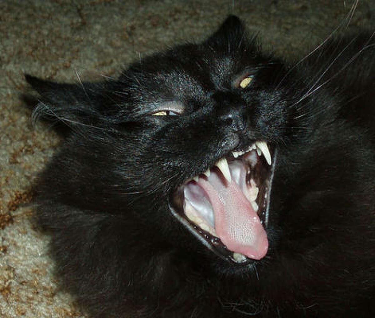 A fang flashing pro. Share your feline fang photos.