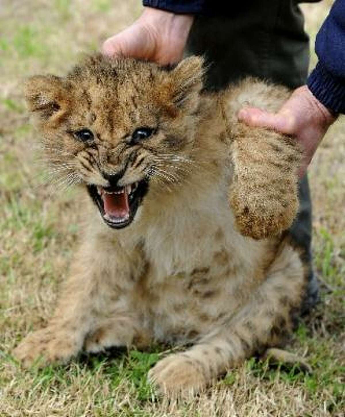 Baby fangs on one of the four lion cubs born at the Parque Lecoq zoo in Uruguay.