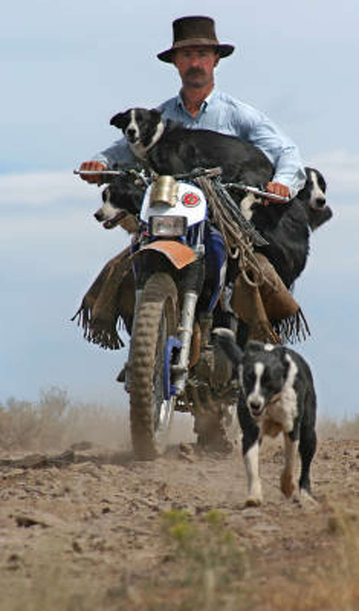 Cattle dogs in Bruneau, Idaho, catch a ride so that when they reach the cattle, the dogs are not too tired to work.