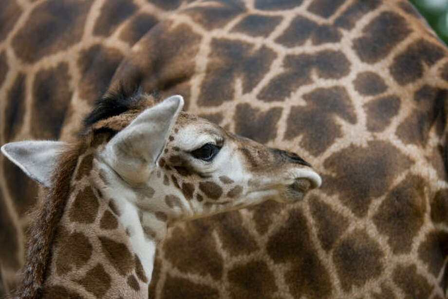 A newly born male Masai giraffe stays close to his mother Tyra Monday, Aug. 10, 2009, at the Houston City Zoo in Houston. Photo: Nick De La Torre, Chronicle