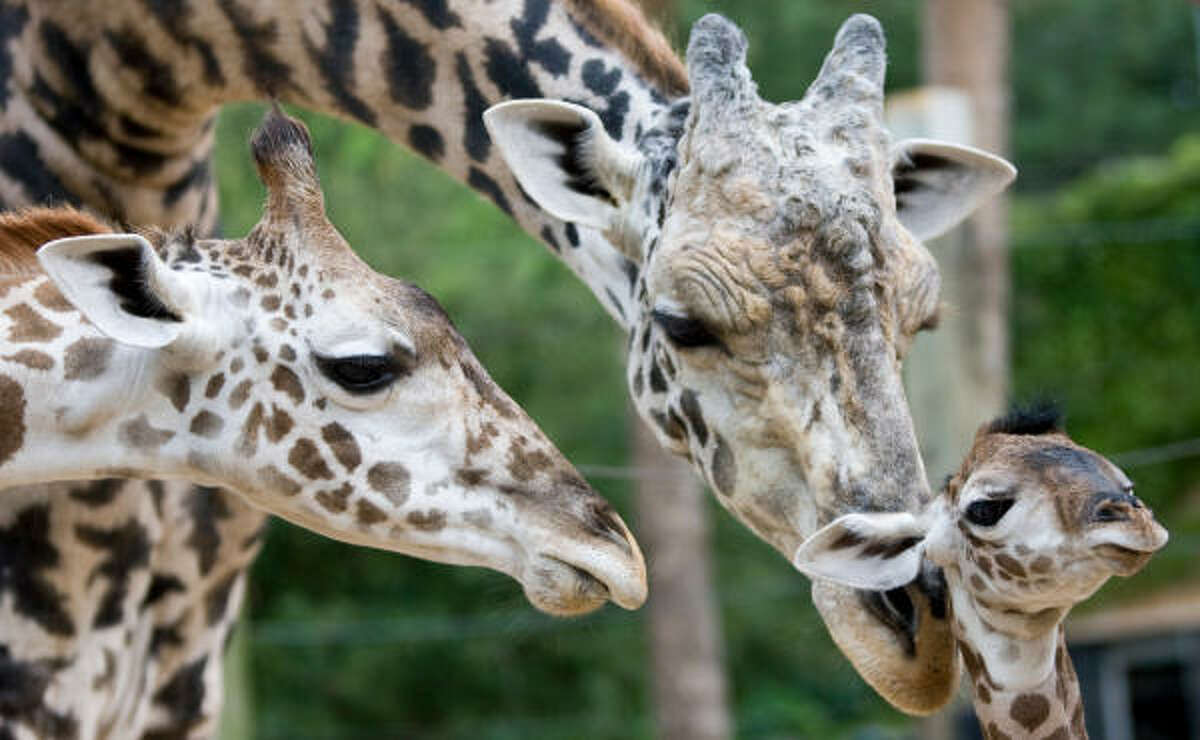A newly born male Masai Girraffe, right, is tended to by his brother Jack, left, and father Kiva.